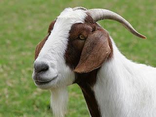 live goat